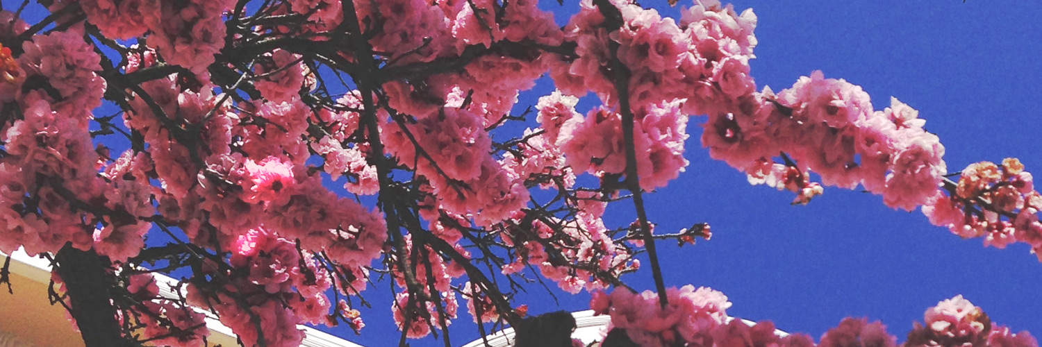 Twitter header - cherry blossoms